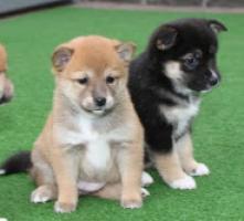 Regalo cachorros Shiba Inu para adopcionRegalo cachorros Shiba I
