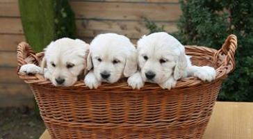 Regalo Magnifico Cachorros Golden Retriever para su adopcion libr