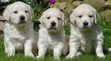 Regalo Tomando cachorros Golden Retriver para su aprobación