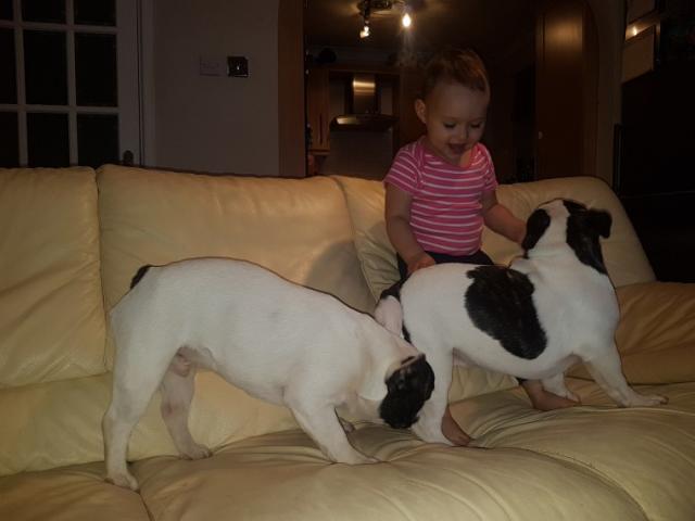 lindo y adorable bulldogs francés para su aprobación