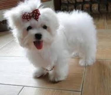 Regalo fabulosa bichon maltes cachorros para adopcion