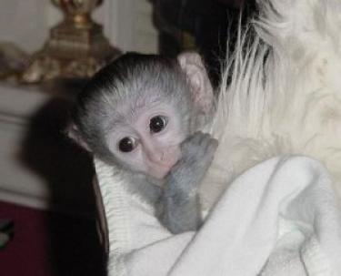 Lindo y adorable bebé monos capuchinos para recgalo