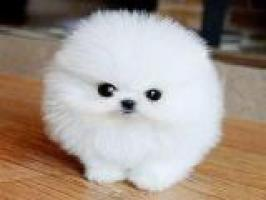 Hermoso, blanco cachorro de Pomerania