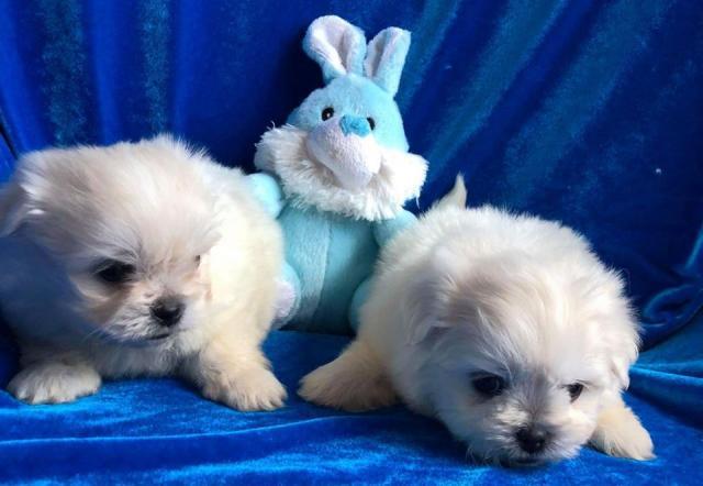 Lorenzo cachorro Bichon maltes para adopcion