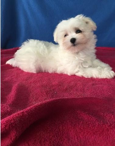 Lorenzo cachorro Bichon maltes para adopcion.........eerrrrrrr