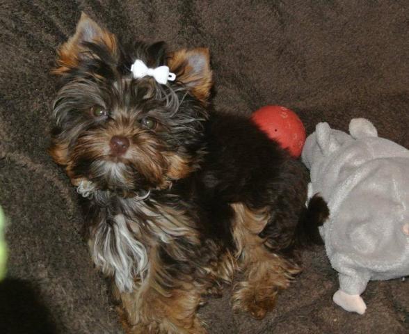 Lorenzo FB Cachorros yorkshire terrier Para Adopción..seeee
