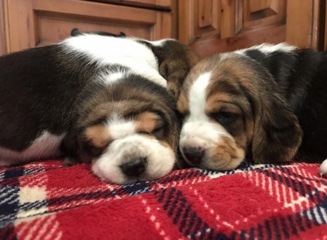 Lorenzo Cachorros Beagle disponibles ahora listos....