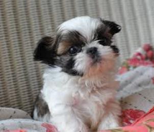amoroso perro shih tzu