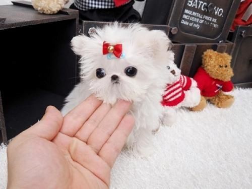Regalo Cachorros Lulu Pomeranian Miniaratura