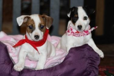 Camada preciosa de jack russell cachorros para regalo