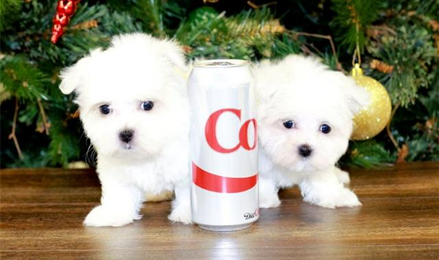 REGALO Registrados Bichón Maltés Mini Toy Cachorros Para Adopción