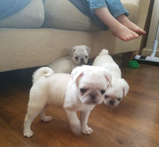 Magnificos cachorritos de pug carlino