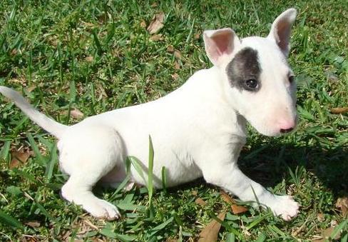 Regal00 Cachorros Bull Terrier