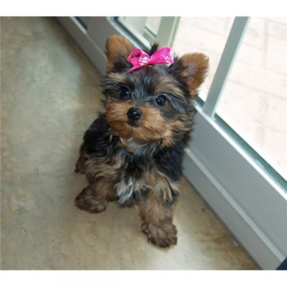 cachorro Yorkshire Terrier correo electrónico (hanadezgarcias