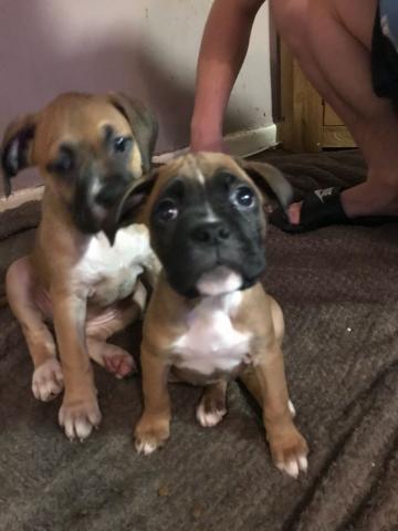 Lindos y encantadores cachorros de Boxer macho y hembra.