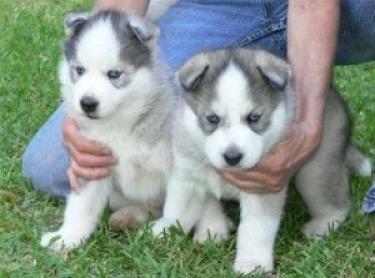Cachorros de Husky Siberiano de pura Raza