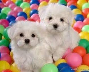 Regalo lindo bichon maltes toy cachorros