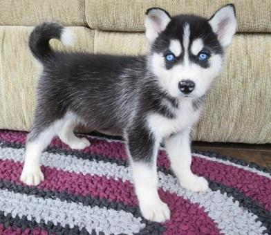 Cachorros husky siberiano con pedigree nacional
