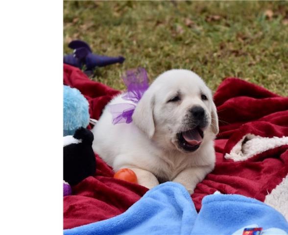 Regalo Labradores cachorros buscando una casa