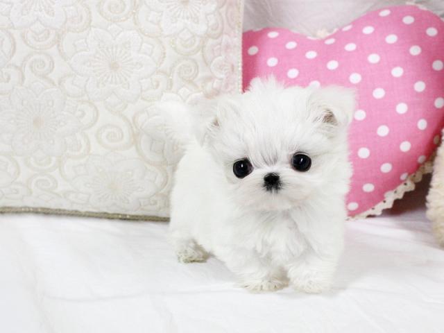 Regalo Bichon Maltes cachorros(nataliaboorrego67@gmail.com) busc