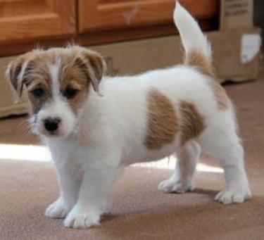 regalo cachorros jack russell macho y hembra (100% pura raza)