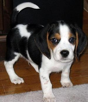 Regalo cachorros beagle macho y hembra una buena casa