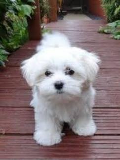 Sweet Teacup Maltese Puppies. .