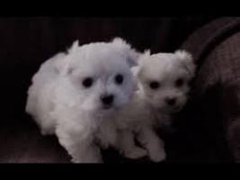 Tiny Teacup Maltese Puppies. .