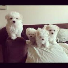 Lovely White Teacup Maltese Puppies. .