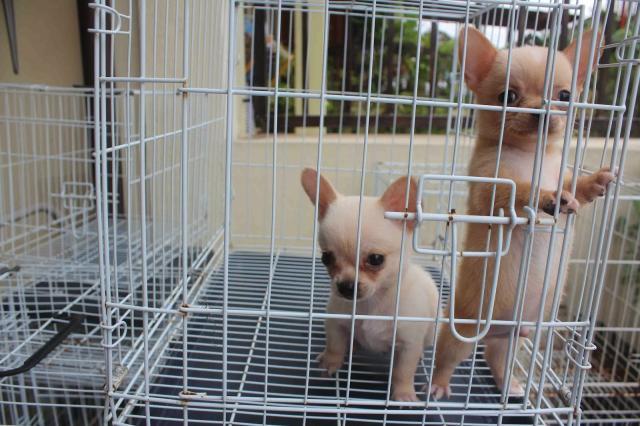 Chihuahua cachorros macho y hembra para adopcion