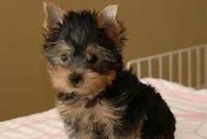 Regalo adorables toy yorkshire terrier.
