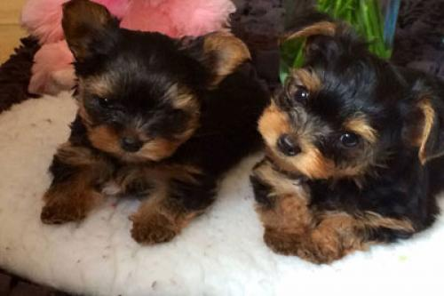 Preciosos machos y hembras Yorkshire Puppys