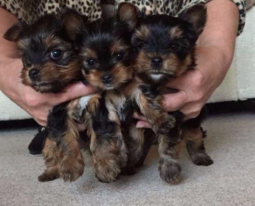 yorkshire puppy, femenino y masculino