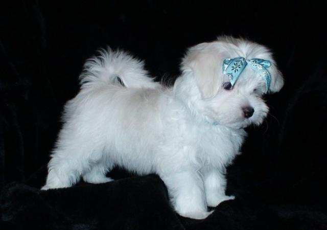Regalo bichon maltes toy cachorros para adopcion