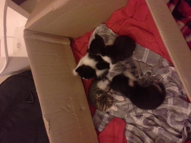 Regalo gatitos con tres semanas