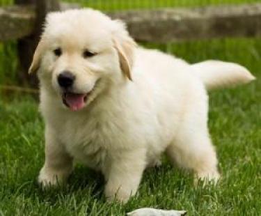 regalos de hermosos cachorros Golden retriever