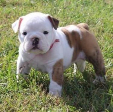 regalo Bulldog Inglés cachorros para la adopción Macho y la h