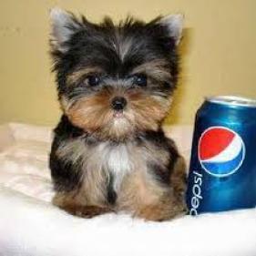 Regalo yorkshire cachorros Para adopcion RGL
