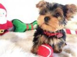 REGALO Perritos de Yorkie de pura para nueva familia