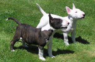 Regalo Cachorros Bull terrier