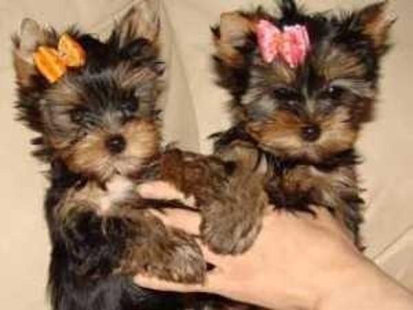 Regalo Cachorros Yorkshire Terrier