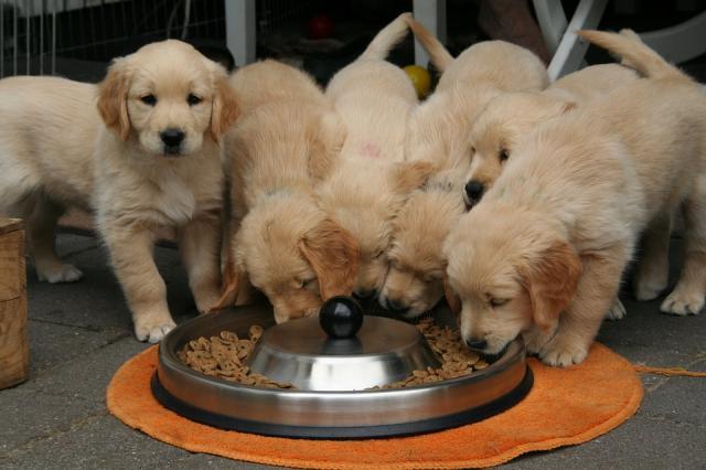 Regalo Magnifico Cachorros Golden Retriever