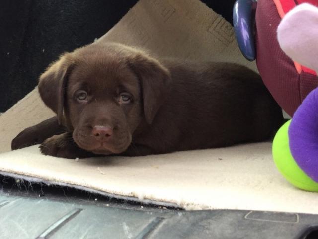 Regalo Labrador Retriever cachorros registrados para adopción