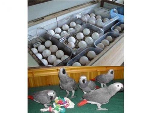 Regalo Loros Yaco Papillero y huevos con excelente pedigrí