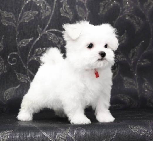 REGALO cachorros Bichon Maltes Mini Toy Para Adopcion