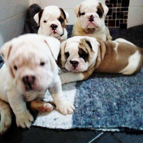 REGALO Bulldog Inglés Cachorros Para Su Adopción