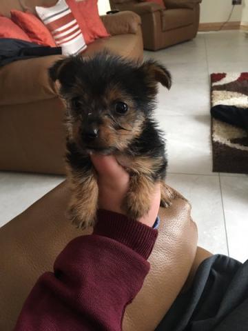 perrito yorkshire terrier hembra