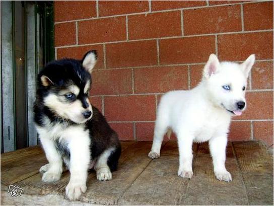 Siberian Husky sano registrado para la adopción