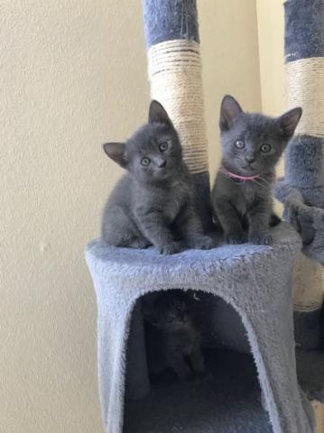 regalo Gatos puros de azul ruso - TICA registrado con pedigríes