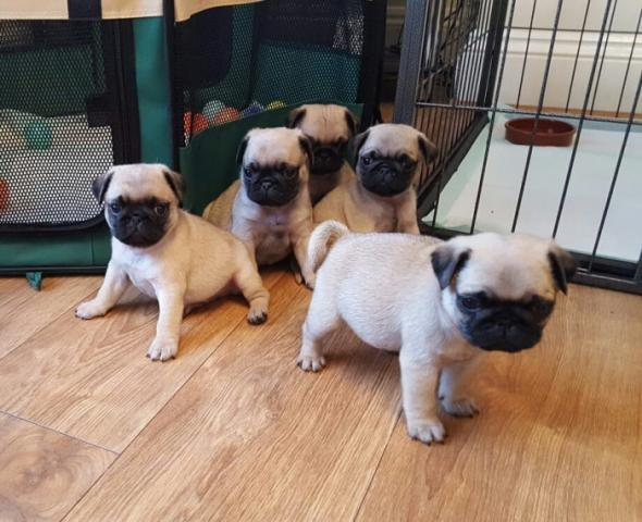 Regalo fabulosa Carlino Pug cachorros para adopcion